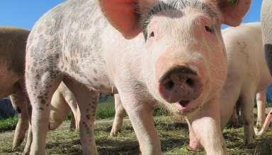 Quelle alimentation adopter pour la nutrition des porcs? 3