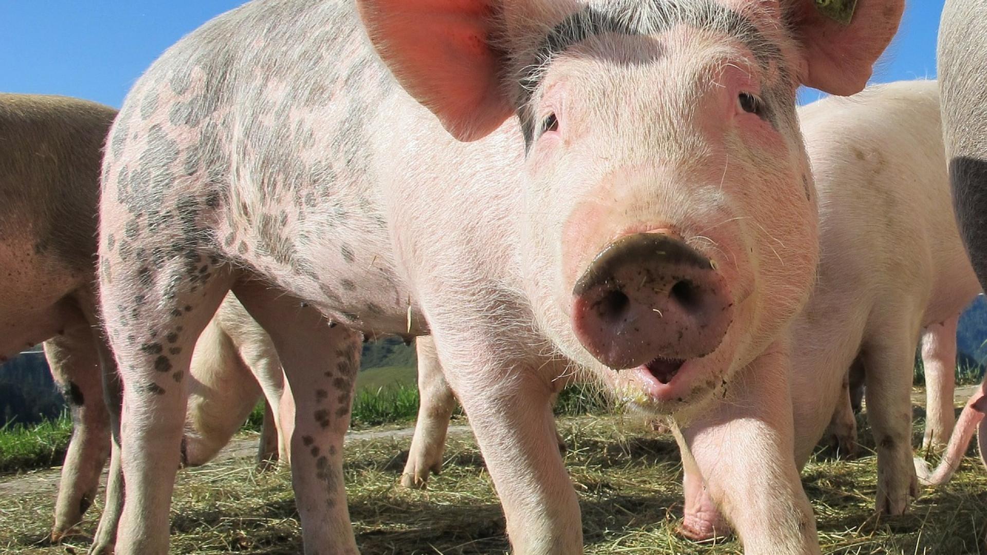 Quelle alimentation adopter pour la nutrition des porcs? 12